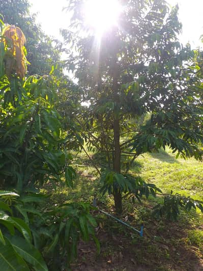 Land for Sale in Klaeng, Rayong - Selling durian garden with houses and mixed gardens, area 7-1-66.7 rai, near Huai Yang Temple, Klaeng District, Rayong Province. If interested, call 065-4163626.
