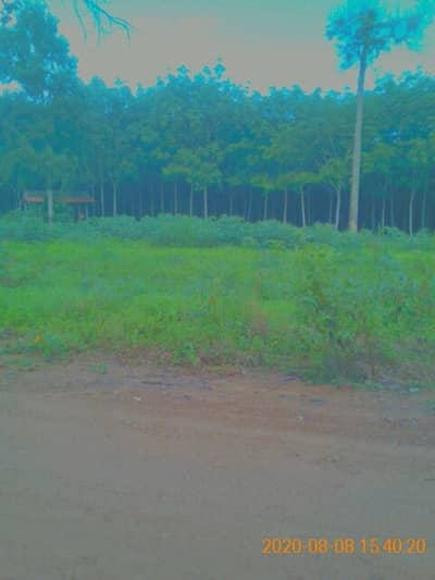 Land for Sale in Nam Nao, Phetchabun - Beautiful land with rubber scraps already.