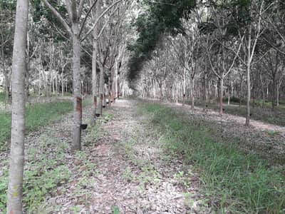 Land for Sale in Dan Sai, Loei - Sell at a rubber plantation, title deed 26 rai 3, 10 years old rubber work, Dan Sai Loei.
