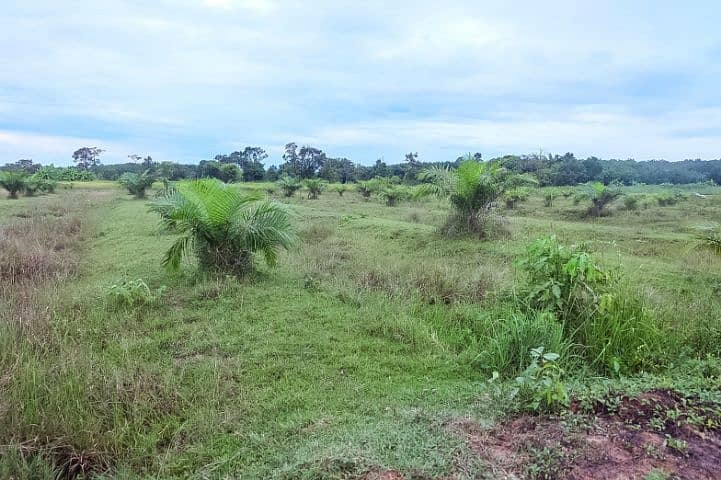 Land for sale over 23 rai Nakhon Phanom Province near the community with palm trees on the land