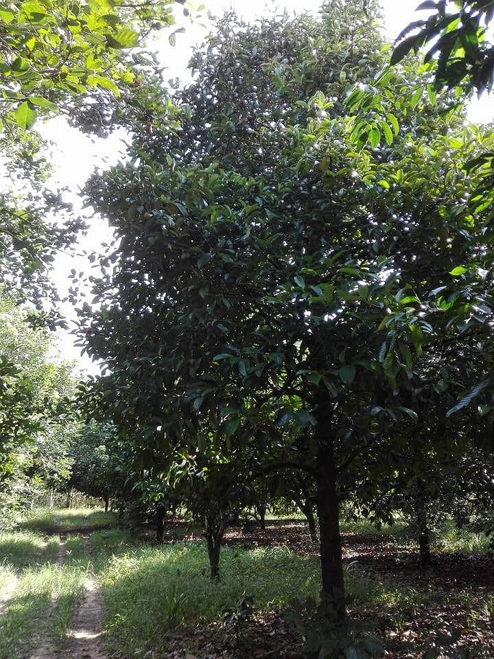 Land of mixed fruit orchards with houses, area of 8 rai 2 ngan