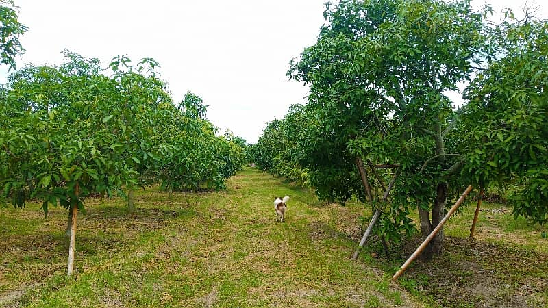 Land for sale, mango orchard, Lamphun, 2,250,000 title deeds, ready to transfer.