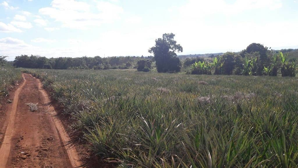 Land for sale with pineapple plantation.