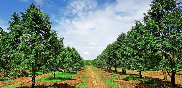 Durian orchard for sale